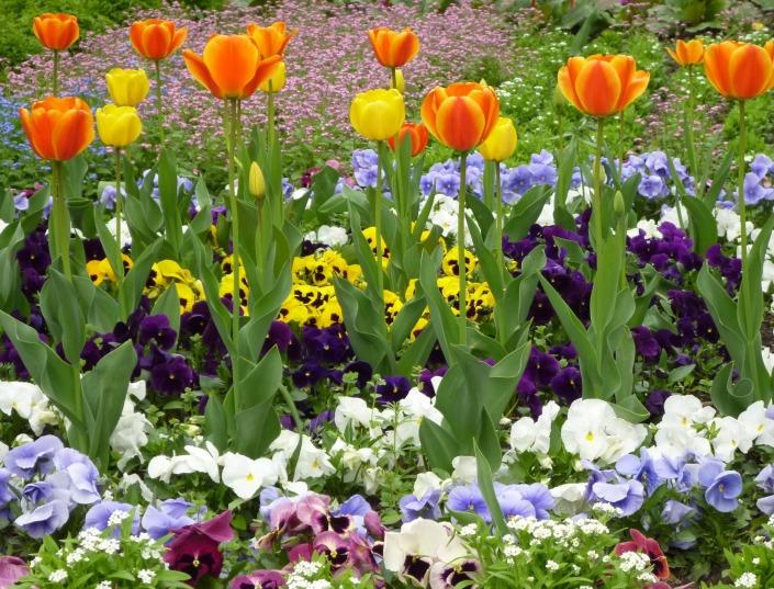 spring_flowers_tulip